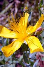 黄色いオトギリソウの花