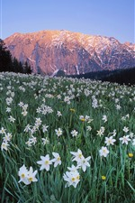 Preview iPhone wallpaper Austria, many white flowers, daffodil, mountains