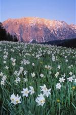Austria, many white flowers, daffodil, mountains