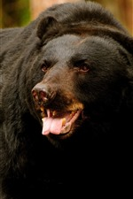 Preview iPhone wallpaper Black bear, look, teeth