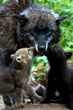 Preview iPhone wallpaper Black wolf, cubs, family