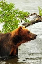 Preview iPhone wallpaper Brown bear, river, water, tree