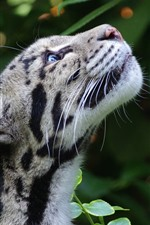 Preview iPhone wallpaper Clouded leopard, look up