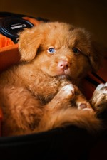 Preview iPhone wallpaper Cute brown puppy and camera