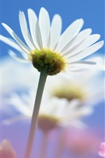 Preview iPhone wallpaper Daisy, white petals, stem, blue sky