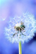 Preview iPhone wallpaper Dandelion, white flower, blue background
