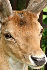 Preview iPhone wallpaper Deer front view, horns, nose, eyes, ears