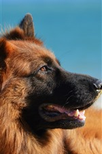 Preview iPhone wallpaper German shepherd dog, mouth, blue background