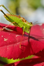 Preview iPhone wallpaper Grasshopper, red leaves, insect