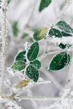 Preview iPhone wallpaper Green leaves, frost, twigs, winter