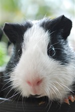 Preview iPhone wallpaper Guinea pig, cup