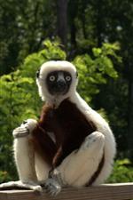 Preview iPhone wallpaper Lemur, monkey, fence, zoo