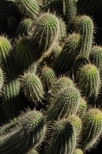 Preview iPhone wallpaper Many cactus, needles