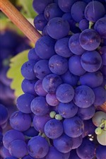 Many purple grapes, harvest