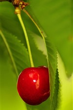 One cherry, green leaves