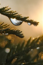 Preview iPhone wallpaper Pine twigs, dew, sunrise, hazy