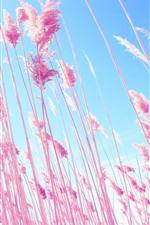 Pink reeds, sky