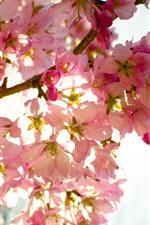 Preview iPhone wallpaper Pink sakura bloom, flowers, twigs, sky, glare