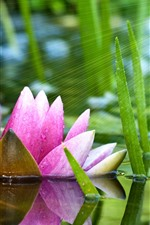 Preview iPhone wallpaper Pink water lily, pond, green leaves, sun rays