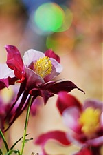 Preview iPhone wallpaper Red aquilegia flowers, petals, hazy