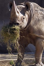 Rhino eat grass