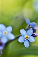 Small blue flowers, forget-me-not, green background