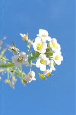 Small white flowers, blue sky