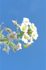 iPhone壁紙のプレビュー 小さな白い花、青い空