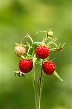 Strawberries, stem, green background