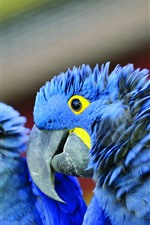 Two blue feathers parrots
