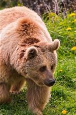 Two brown bears, walk, green grass, flowers