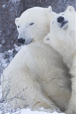 Dois ursos polares, brincadeira, neve