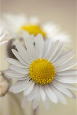 Preview iPhone wallpaper White daisy, petals, hazy background