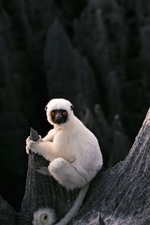 Preview iPhone wallpaper White lemur, rocks