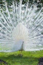 Preview iPhone wallpaper White peacock, beautiful feathers, grass