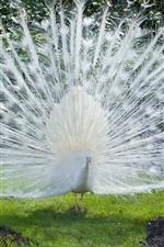 Pavão branco, belas penas, grama