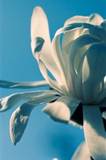 Preview iPhone wallpaper White petals flower macro photography, blue background