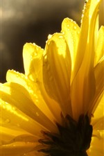 Preview iPhone wallpaper Yellow flowers close-up, petals, water droplets