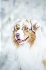 Preview iPhone wallpaper Australian shepherd, dog, yellow eyes, hazy