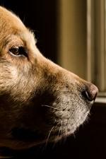 Cachorro marrom, cabeça, olhar, janela