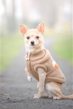 Chihuahua dog, coat, clothes, hazy