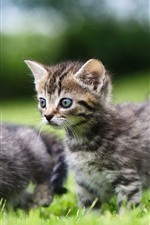 Preview iPhone wallpaper Cute two kittens, walk on grass