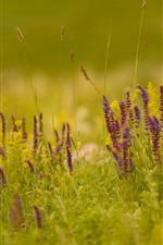 Grass, purple wildflowers, nature