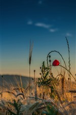 Preview iPhone wallpaper Grass, red flower, sky, summer