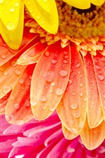Preview iPhone wallpaper Orange, yellow, pink gerbera flowers, petals, water droplets
