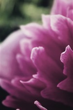 Preview iPhone wallpaper Pink peony, petals macro photography
