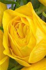 Algumas rosas amarelas, close-up da flor
