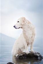 Preview iPhone wallpaper White dog, lake, rock