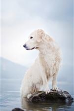 Cachorro branco, lago, rocha