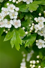 Preview iPhone wallpaper White hawthorn flowers flowering, green leaves, spring